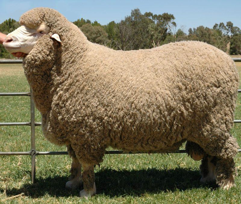 Австралийская овца-меринос (Merino)